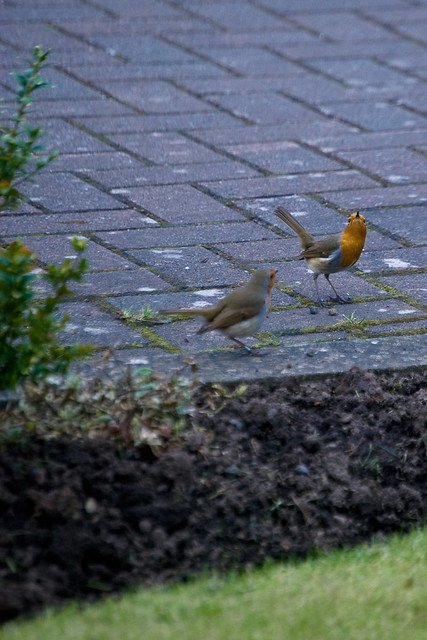 130312_ a pair of Robins no2
