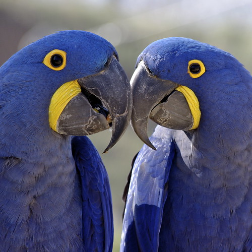 Hyacinth macaws at Doué La Fontaine, France