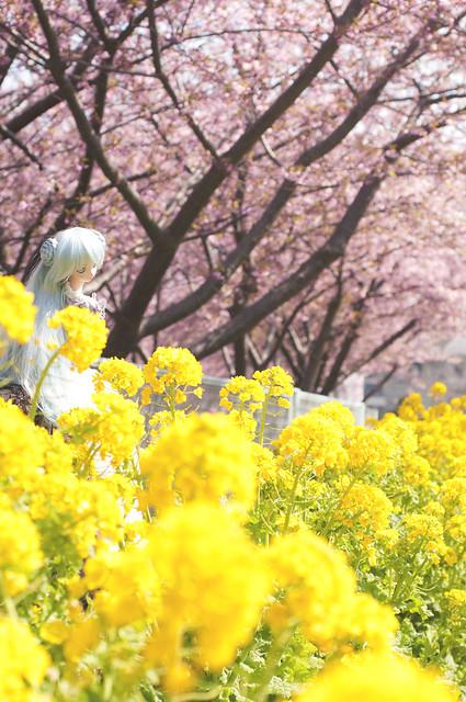 河津桜と菜の花と