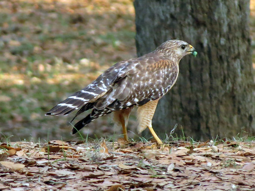 parent Red-shouldered Hawk