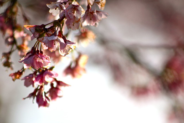 Cherry Blossoms - 32476