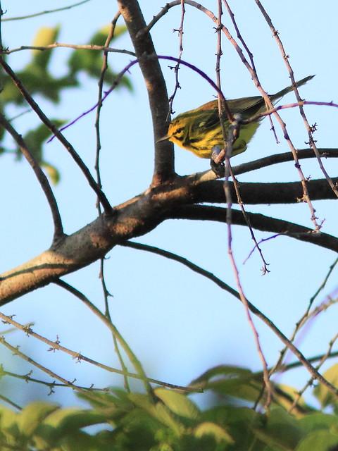 Prairie Warbler 20120402