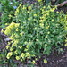 Small photo of Alyssum saxatile
