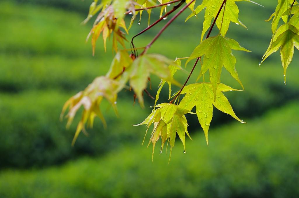 雨中の 槭