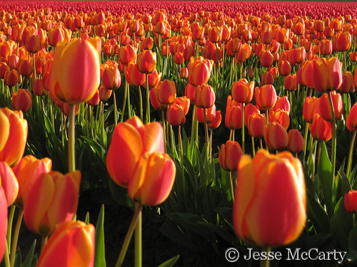 Evening Tulips