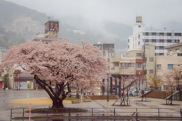 Cherry Blossoms in Japan - Atami
