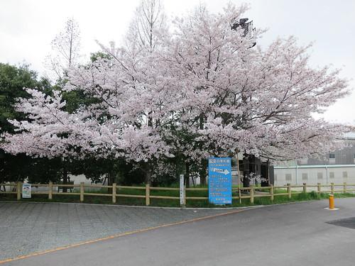 流され橋休憩所の桜。ここはローディしかいないので撮るのは簡単。