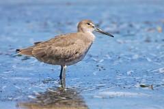 animal, charadriiformes, fauna, red backed sandpiper, redshank, sandpiper, beak, bird, wildlife,