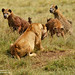 Lioness defending cubs and kill from Hyena pack _GS17457