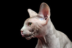 whiskers(0.0), nose(1.0), animal(1.0), sphynx(1.0), peterbald(1.0), small to medium-sized cats(1.0), snout(1.0), ukrainian levkoy(1.0), donskoy(1.0), cat(1.0), carnivoran(1.0), hairless cat(1.0),