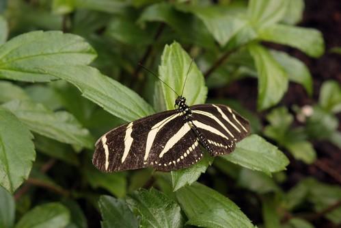 zwart gele vlinder hortus botanicus