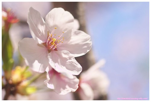 Cherry blossoms #01