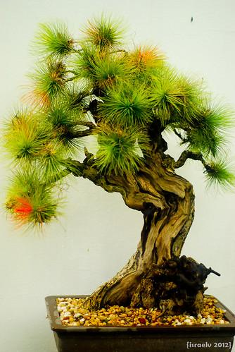 Bonsai #8 by {israelv}