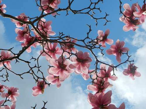 Looking Up into a Magnolia Tree