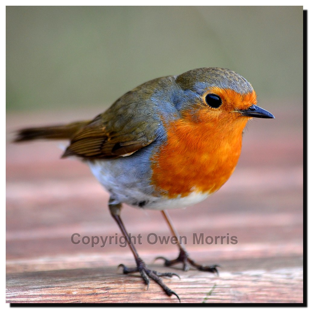 Beautiful Robin posing