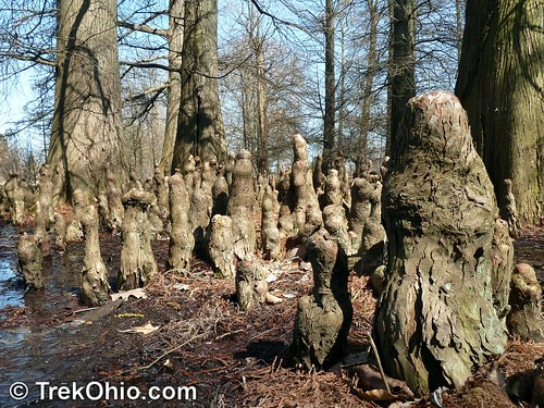Pneumatophores (root bumps) of Bald Cypress Trees