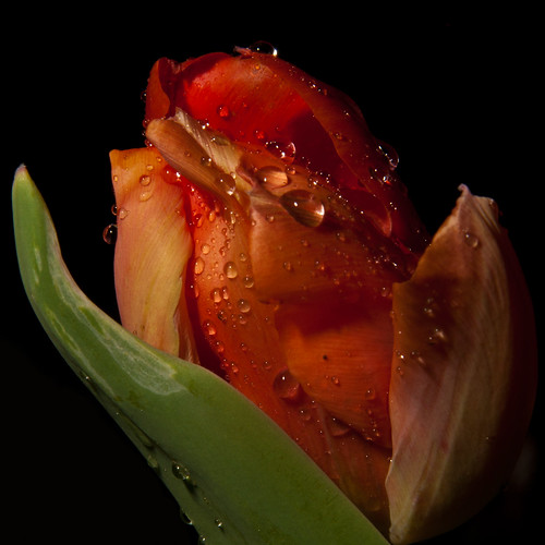 red flower macro water colors night dark photography drops nikon shot huntsville alabama tulip after setup catchy d90 sb26 strobist