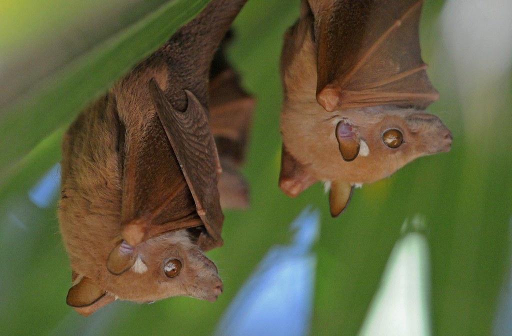 Mystery Animal Epauletted Fruit Bat Epomophorus Species