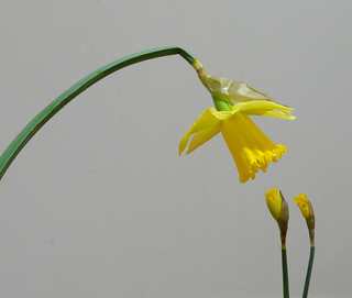 Daffodil - Day 6: A Lesson for Children