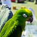 Small photo of Amazon parrot and African gray parrot