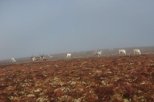 Reindeer in the mist, Carn Eachie