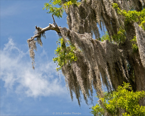 spanish moss by Alida's Photos
