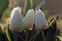Wedding Tulips II