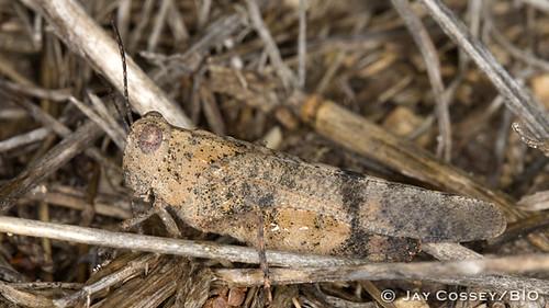 texas grasshopper insecta cavernsofsonora orthopteragrasshopperskatydids photographerjaycossey