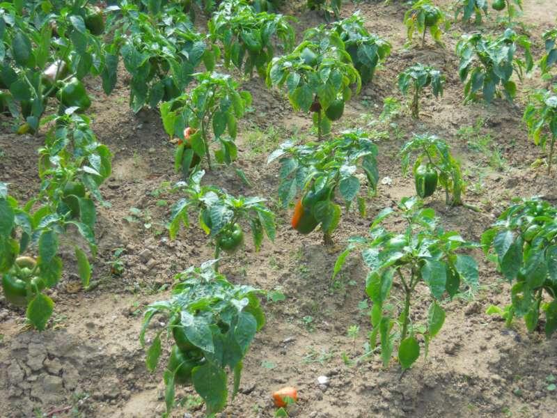Jardineros en acci n planificar las siembras del huerto for Casetas de huerto