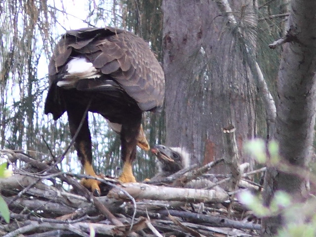 Bald Eagle male feeding eaglet 8-20120217