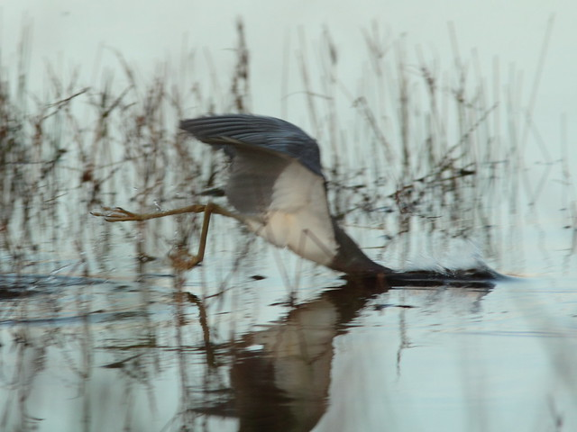 Tricolored Heron diving 20120218