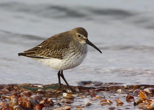 Dunlin, Winter plumage by mghornak