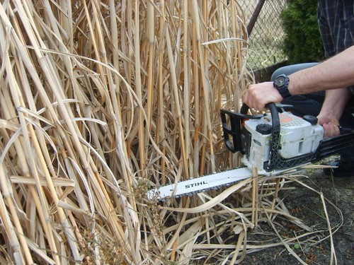 cięcie plantacji miskanta olbrzymiego - polskiego bambusa