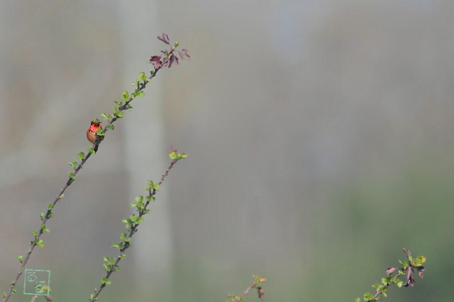 Allen's Hummingbird 022012-3