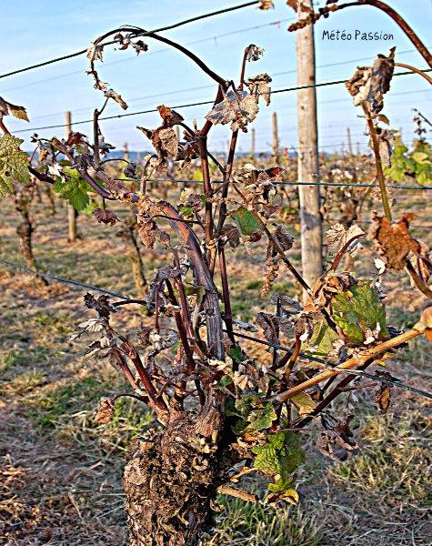 """vignes """"brûlées"""" sous l'effet du gel météopassion"""