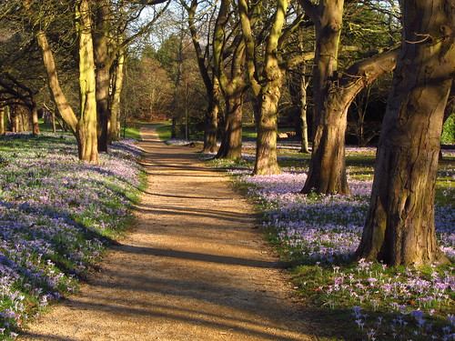 The Crocus Walk in Cannizaro Park