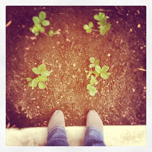 Got the strawberries in the ground. #fromwhereistand #garden
