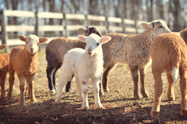 Lambs Watching