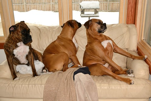 dogs window nikon boxers jimmy lola mama couch majicbus d3100 devilducmike