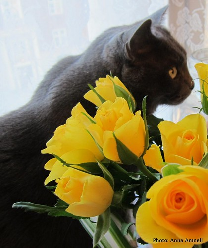 A grey cat and yellow roses by Anna Amnell