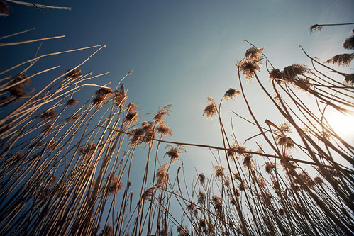 Castle Reeds