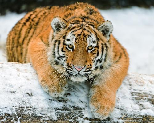 [フリー画像素材] 動物 1, 虎・トラ ID:201203191000