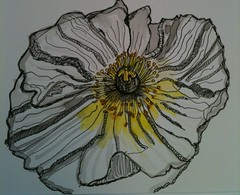 White and Yellow Icelandic Poppy