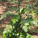 Mahonia bealei- leatherleaf mahonia