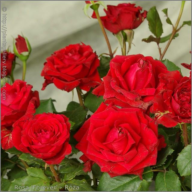 Rosa 'Forever' - Róża 'Forever'