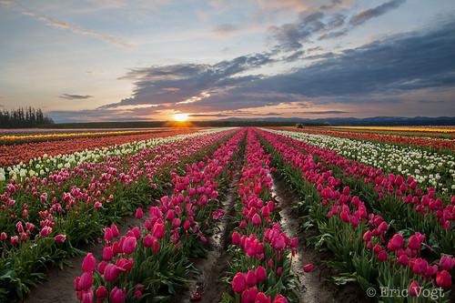 pink oregon sunrise tulips magenta tulipfestival woodburn woodenshoetulipfarm