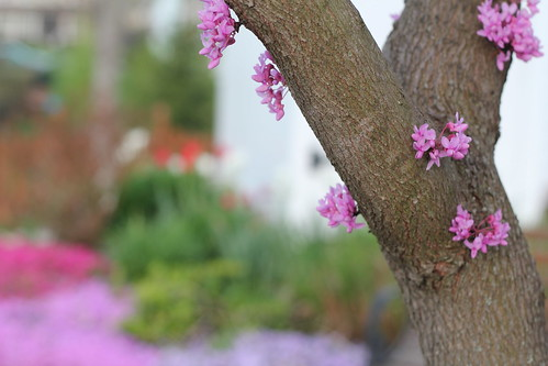 Red Bud by DiPics