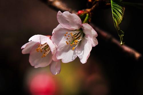 [フリー画像素材] 花・植物, 桜・サクラ ID:201204160600