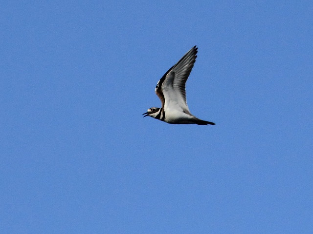 Killdeer in flight 2-20120410