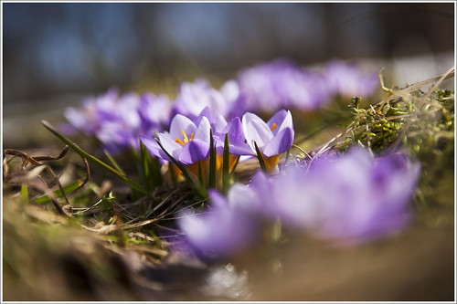 20120412. Crocuses. 5814. by Tiina Gill